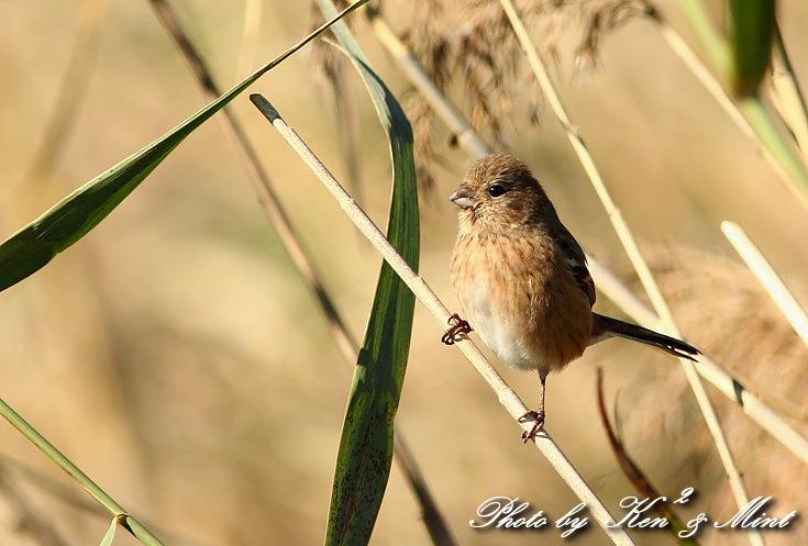 MFの鳥さん達  「ベニマシコ」 さんと 「カワウ」 さん♪_e0218518_2231389.jpg