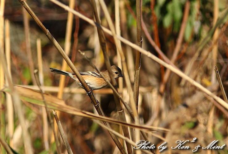 MFの鳥さん達  「ベニマシコ」 さんと 「カワウ」 さん♪_e0218518_22314359.jpg