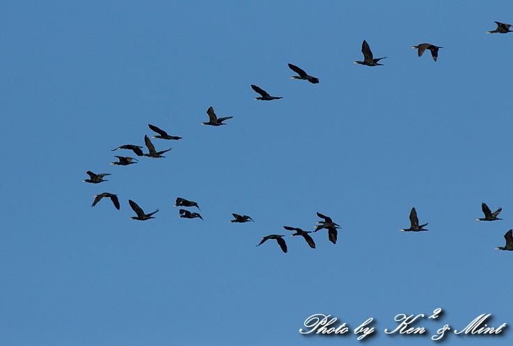 MFの鳥さん達  「ベニマシコ」 さんと 「カワウ」 さん♪_e0218518_223243.jpg