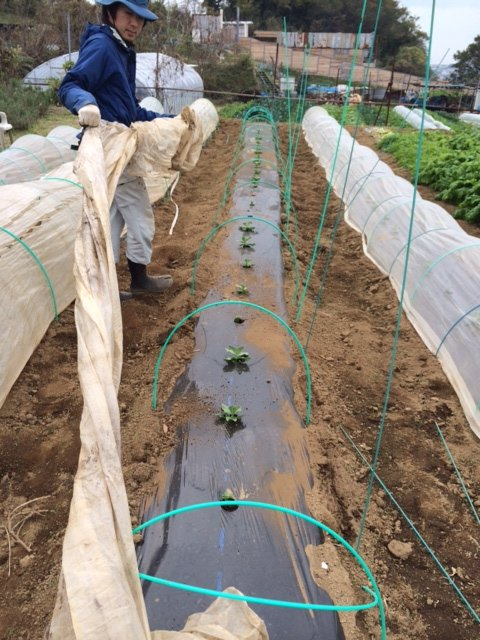 エンドウ豆&蚕豆のトンネル張り替え作業終了_c0222448_12342449.jpg
