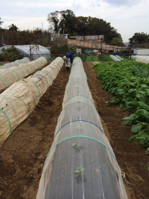 エンドウ豆&蚕豆のトンネル張り替え作業終了_c0222448_12350135.jpg
