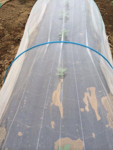 エンドウ豆&蚕豆のトンネル張り替え作業終了_c0222448_12352214.jpg