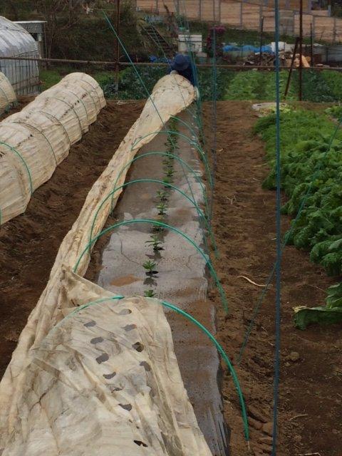 エンドウ豆&蚕豆のトンネル張り替え作業終了_c0222448_12354730.jpg