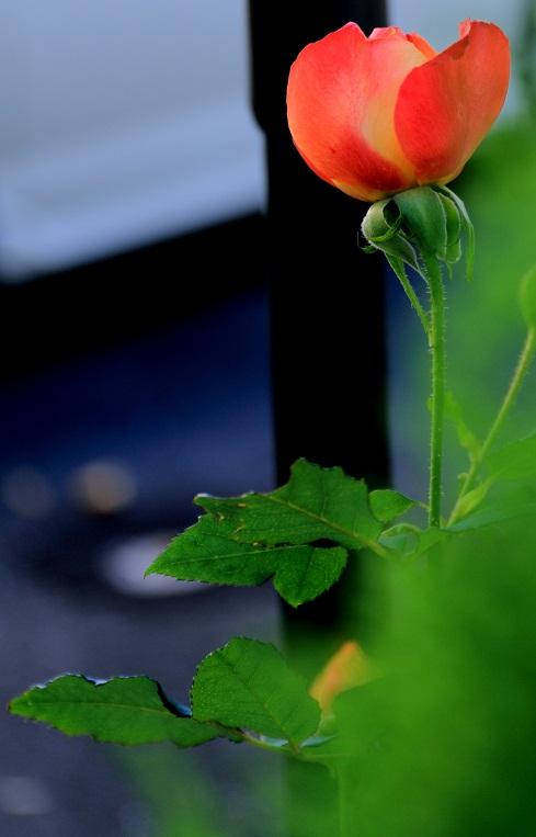 薔薇になりたい_e0241944_15145324.jpg