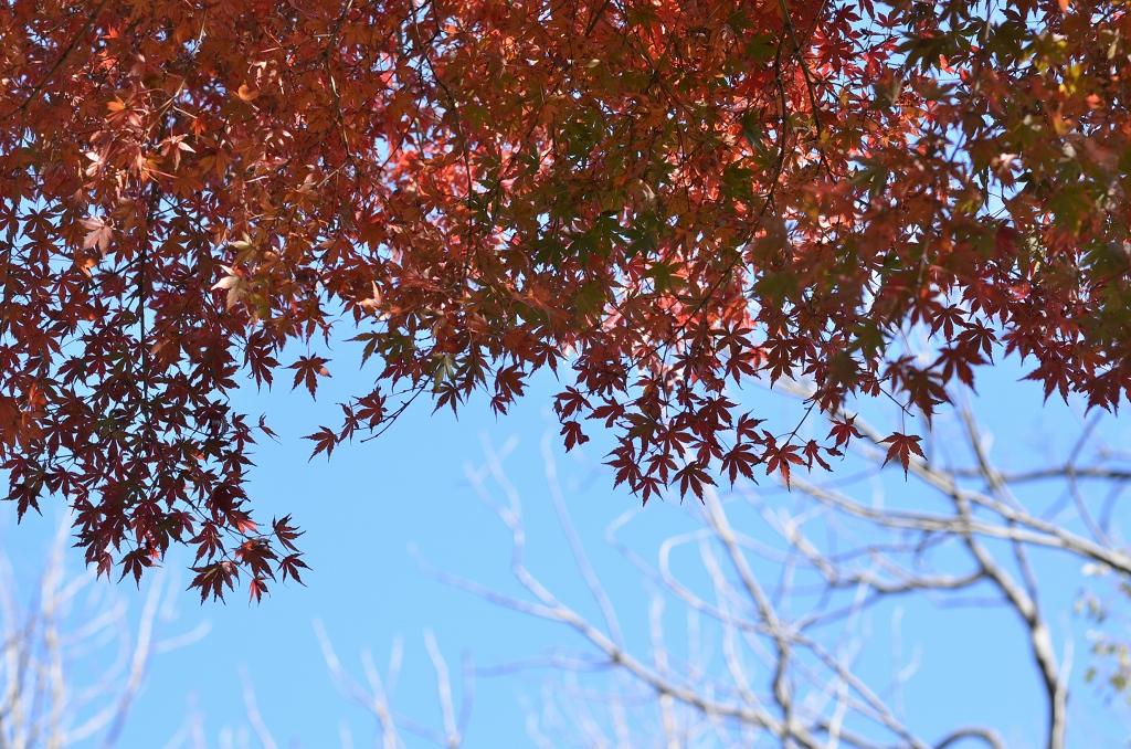 鎌倉の紅葉 寿福寺_d0065116_2092056.jpg
