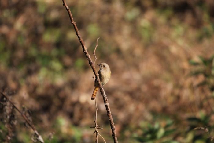 2013.11.27 冬鳥やっぱり少ないです・里山公園・ジョウビタキ、カワラヒワ、ノスリ_c0269342_18004024.jpg