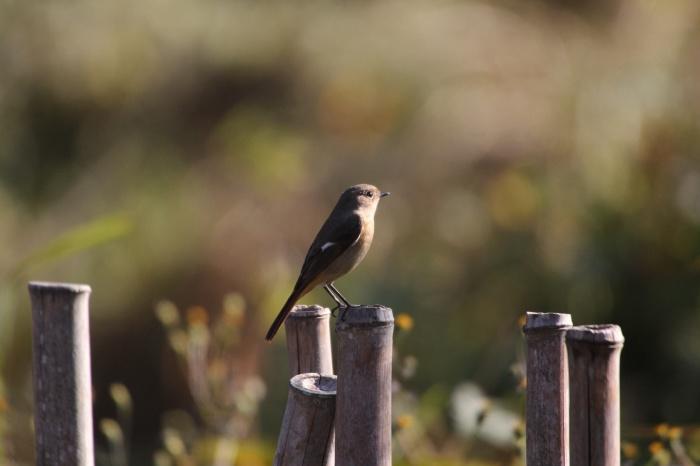 2013.11.27 冬鳥やっぱり少ないです・里山公園・ジョウビタキ、カワラヒワ、ノスリ_c0269342_18011341.jpg