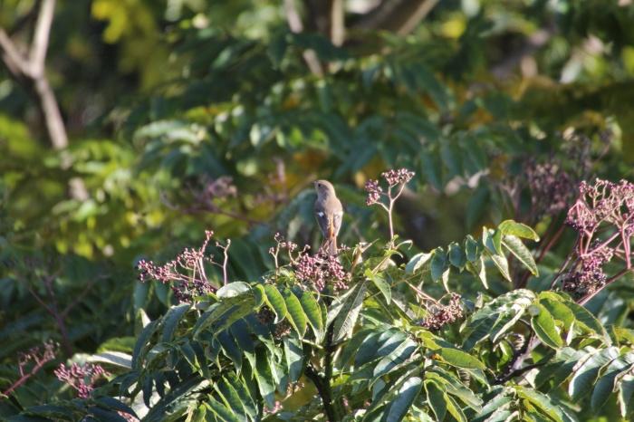2013.11.27 冬鳥やっぱり少ないです・里山公園・ジョウビタキ、カワラヒワ、ノスリ_c0269342_18015172.jpg