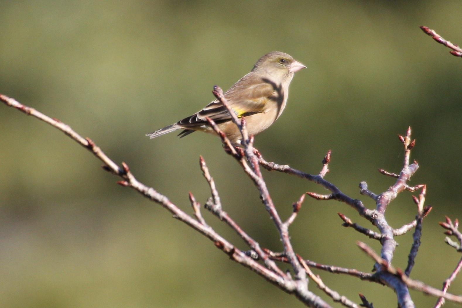 2013.11.27 冬鳥やっぱり少ないです・里山公園・ジョウビタキ、カワラヒワ、ノスリ_c0269342_18033429.jpg