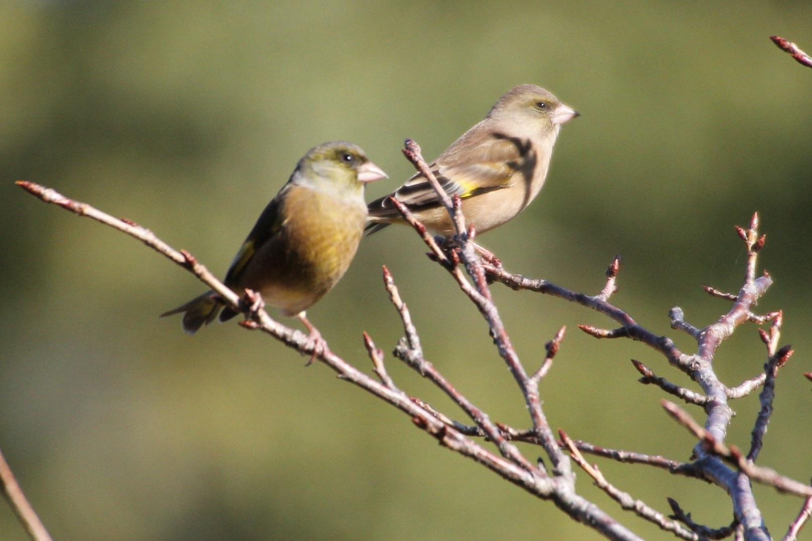 2013.11.27 冬鳥やっぱり少ないです・里山公園・ジョウビタキ、カワラヒワ、ノスリ_c0269342_18035477.jpg