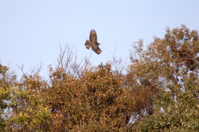 2013.11.27 冬鳥やっぱり少ないです・里山公園・ジョウビタキ、カワラヒワ、ノスリ_c0269342_18051769.jpg