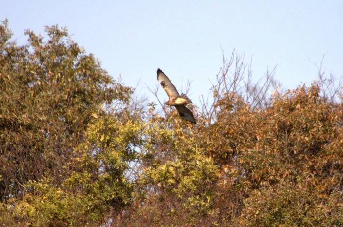 2013.11.27 冬鳥やっぱり少ないです・里山公園・ジョウビタキ、カワラヒワ、ノスリ_c0269342_18062071.jpg