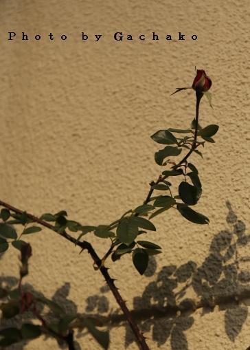 薔薇は憧れ_e0241944_21314086.jpg