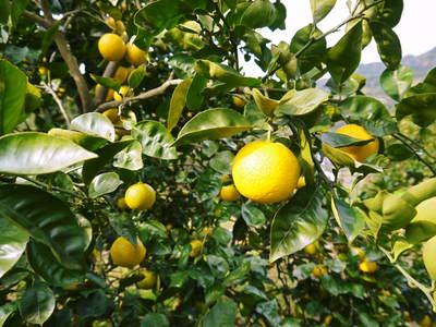 種なしかぼす 色付いた「かぼす」はさらに香りは際だち、フレッシュそのもの!!_a0254656_1651489.jpg