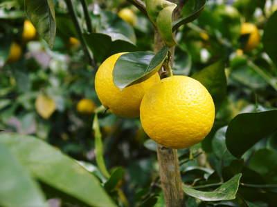 種なしかぼす 色付いた「かぼす」はさらに香りは際だち、フレッシュそのもの!!_a0254656_17175139.jpg
