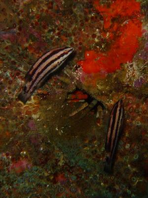 ガラパゴスの魚2 小物編♪            GALAPAGOS_e0184067_13393679.jpg