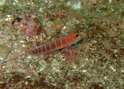 ガラパゴスの魚2 小物編♪            GALAPAGOS_e0184067_13394521.jpg