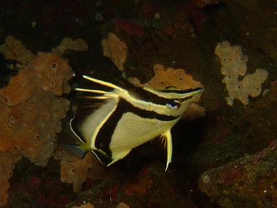 ガラパゴスの魚2 小物編♪            GALAPAGOS_e0184067_13401318.jpg