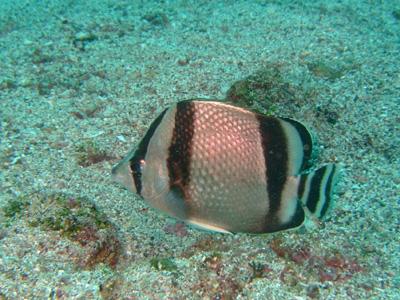 ガラパゴスの魚2 小物編♪            GALAPAGOS_e0184067_1340443.jpg