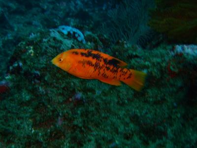 ガラパゴスの魚2 小物編♪            GALAPAGOS_e0184067_13473925.jpg