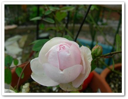 我が家のバラ(^_-)_b0096584_22101032.jpg