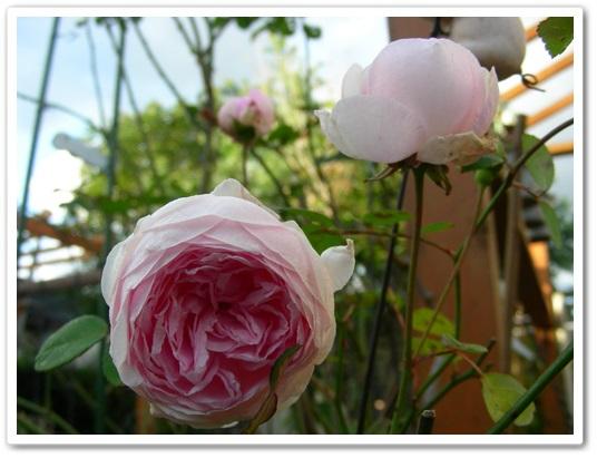 我が家のバラ(^_-)_b0096584_22101817.jpg