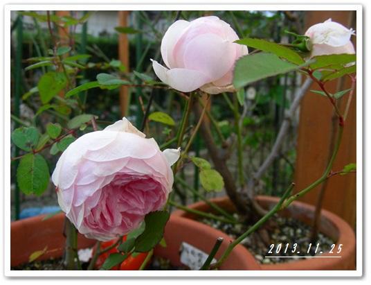 我が家のバラ(^_-)_b0096584_2210278.jpg