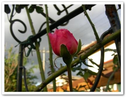 我が家のバラ(^_-)_b0096584_22103538.jpg