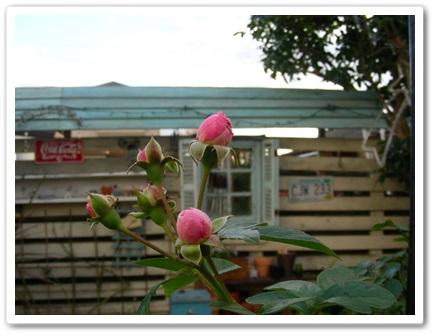 我が家のバラ(^_-)_b0096584_22111756.jpg