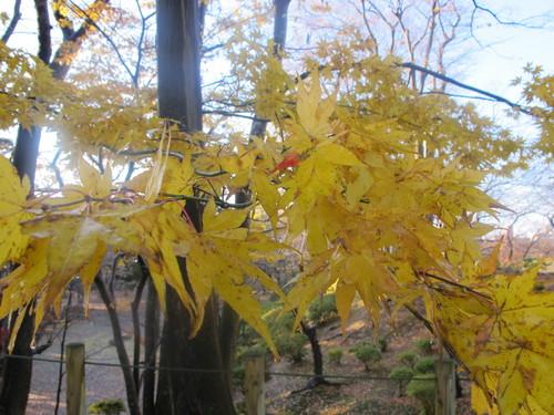 晩秋、千秋公園の紅葉・黄葉・落葉のルクス(lux)・・・その13_c0075701_21555725.jpg