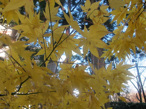 晩秋、千秋公園の紅葉・黄葉・落葉のルクス(lux)・・・その14_c0075701_2274372.jpg