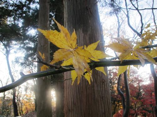 晩秋、千秋公園の紅葉・黄葉・落葉のルクス(lux)・・・その14_c0075701_2275416.jpg