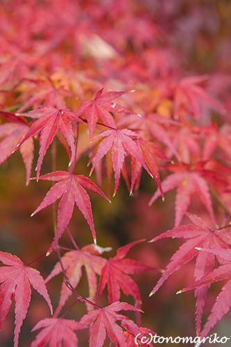 秋色の京さんぽ「龍安寺」_c0024345_11342843.jpg