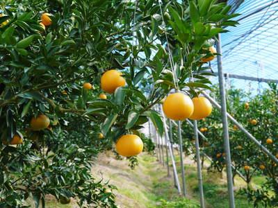 究極の柑橘「せとか」 寒さを感じさせることで色付いていくんです_a0254656_1831124.jpg