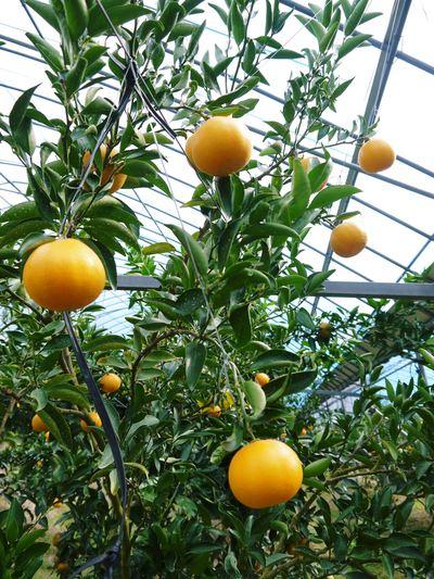 究極の柑橘「せとか」 寒さを感じさせることで色付いていくんです_a0254656_18351054.jpg