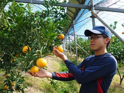 究極の柑橘「せとか」 寒さを感じさせることで色付いていくんです_a0254656_18481833.jpg