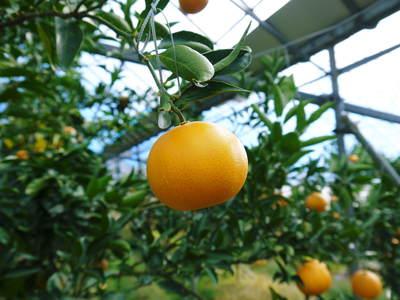 究極の柑橘「せとか」 寒さを感じさせることで色付いていくんです_a0254656_1855436.jpg