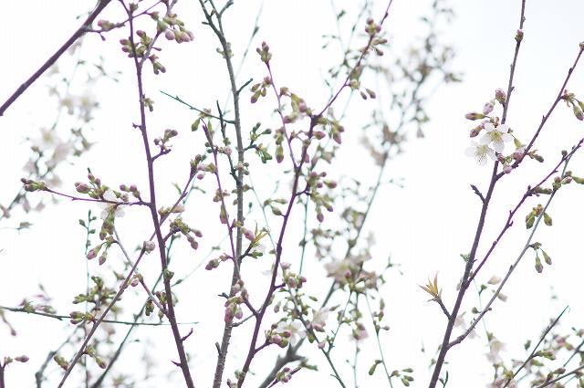 ヒマラヤ桜が開花_e0181373_20445388.jpg