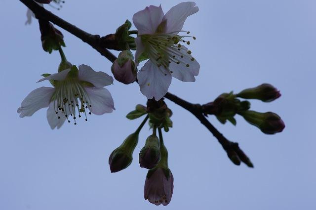 ヒマラヤ桜が開花_e0181373_20452085.jpg