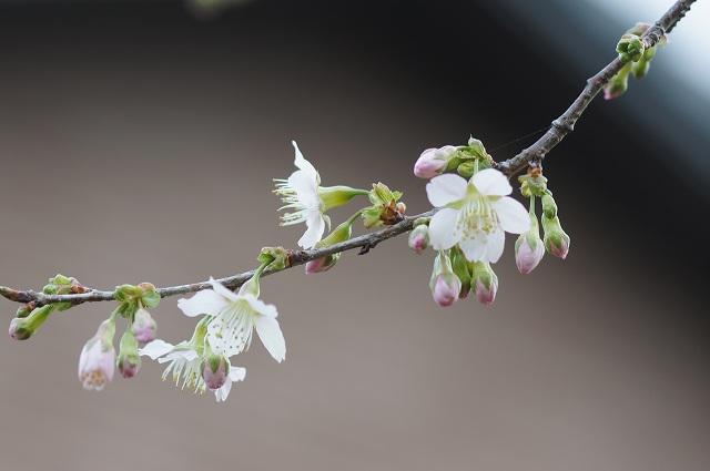 ヒマラヤ桜が開花_e0181373_2045345.jpg