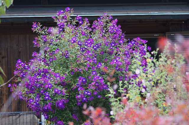 ヒマラヤ桜が開花_e0181373_2134485.jpg