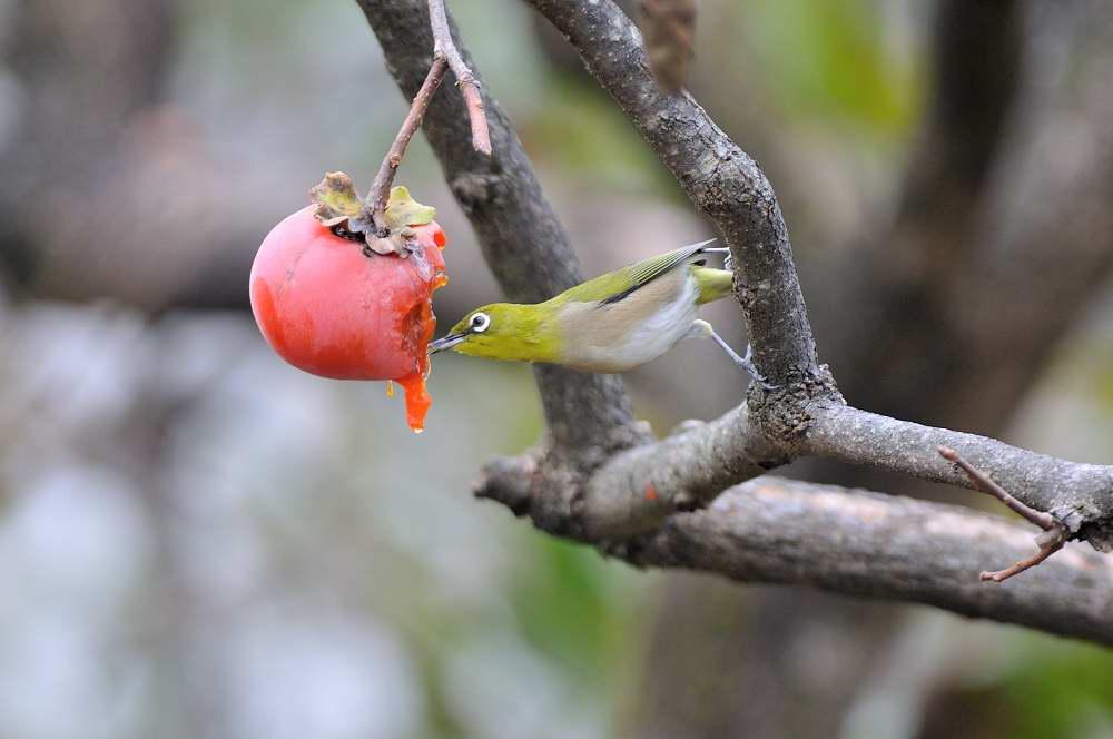 柿の実とメジロ_f0202686_20165214.jpg