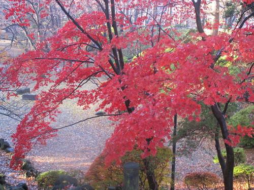 晩秋、千秋公園の紅葉・黄葉・落葉のルクス(lux)・・・その15_c0075701_755364.jpg