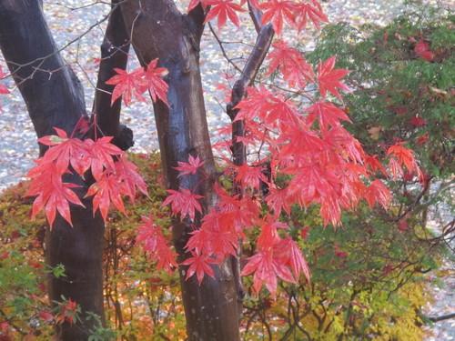 晩秋、千秋公園の紅葉・黄葉・落葉のルクス(lux)・・・その15_c0075701_755875.jpg