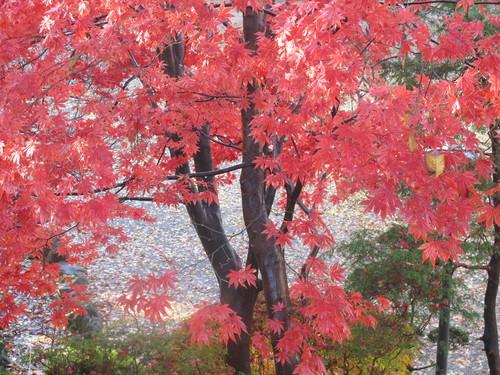 晩秋、千秋公園の紅葉・黄葉・落葉のルクス(lux)・・・その15_c0075701_76569.jpg