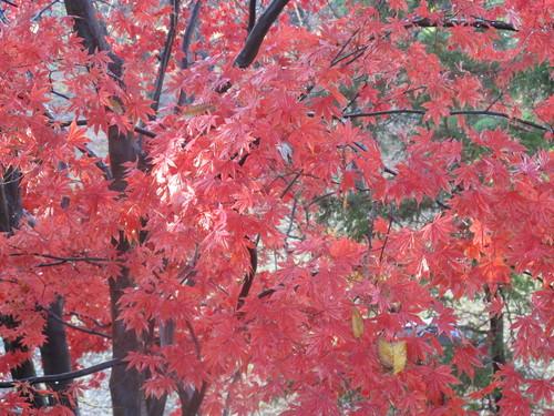 晩秋、千秋公園の紅葉・黄葉・落葉のルクス(lux)・・・その15_c0075701_76720.jpg