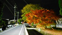 櫨並木のライトアップ!_a0130305_123235.jpg