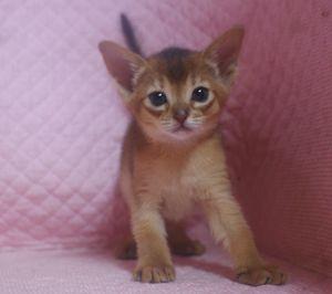 アビシニアン子猫 ルディ ブルー家族募集 _e0033609_12313876.jpg