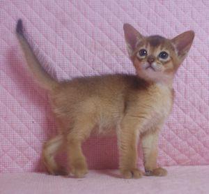 アビシニアン子猫 ルディ ブルー家族募集 _e0033609_12315647.jpg
