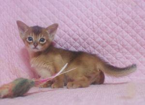 アビシニアン子猫 ルディ ブルー家族募集 _e0033609_12325834.jpg